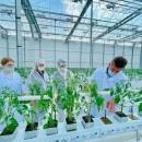 В тепличном комплексе «Новый» началась посадка томатов